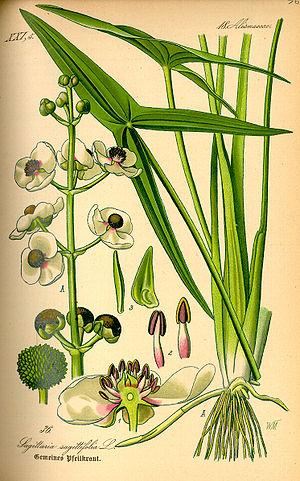 Sagittaria - Image: Illustration Sagittaria sagittifolia 0