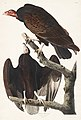 Illustration from Birds of America (1827) by John James Audubon, digitally enhanced by rawpixel-com 151.jpg