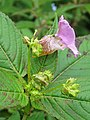 Impatiens sulcata - Gigantic Himalayan Balsam on way from Gangria to Valley of Flowers National Park - during LGFC - VOF 2019 (1).jpg