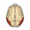 Inferior parietal lobule - superior view.png