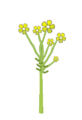 Inflorescence morphology fascicle.png