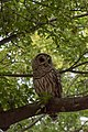 Innis Woods - Barred Owl 1.jpg