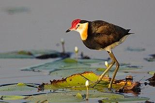 Jacanidae Family of birds