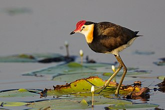 Comb-crested jacana - Image: Irediparra gallinacea Comb crested Jacana