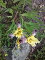 Iris-variegata-hungarian-iris-0a.jpg