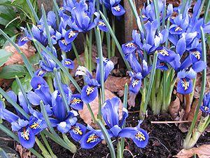 Hermodactyloides - Iris reticulata