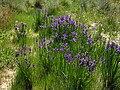 Iris spuria ssp maritima 2 (Espagne).JPG