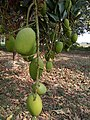 It's a mango tree fruit which is look very good in green colour.jpg