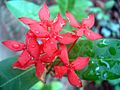 Ixora flower.JPG