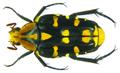Ixorida (Pseudomecinonota) gueyraudi Antoine, 1992 (8372524237).png