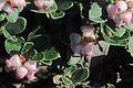 J20170314-0079—Arctostaphylos uva-ursi var marinensis—RPBG (33558147885).jpg
