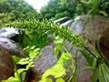 JNU Grass Flower in rain.jpg