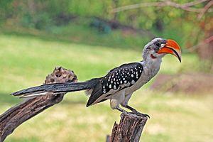 Jackson's hornbill - Image: Jackson's hornbill (Tockus jacksoni) male