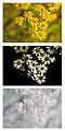 Jacobaea vulgaris (Common Ragwort) flowers Vis UV IR comparison.jpg