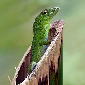 A juvenile Jamaican giant anole (Anolis garmani)