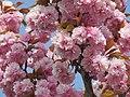 Japanische Kirschblüten - panoramio.jpg