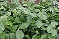 Jasminum sambac 12zz.jpg