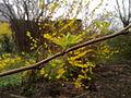 Jeunes feuilles de framboisier à Grez-Doiceau 001.jpg