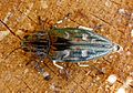 Jewel beetle. Buprestidae. Chalcophora mariana - Flickr - gailhampshire.jpg