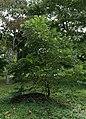 Juglans nigra (Black Walnut) 14761*A (37274340970).jpg