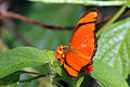 Julia butterfly (Dryas iulia iulia) male.JPG