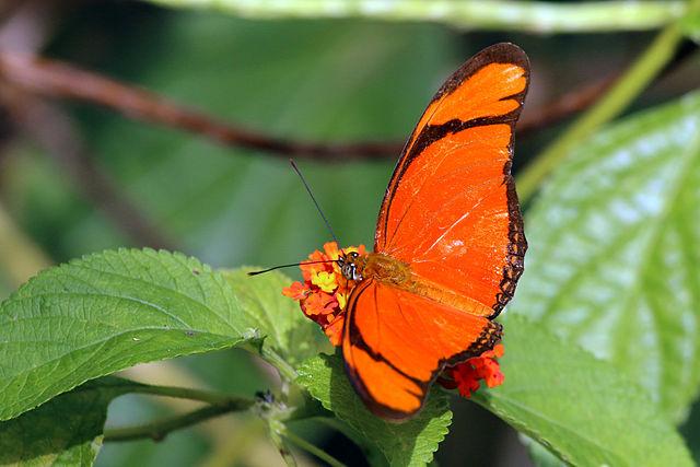 Bộ sưu tập cánh vẩy 4 - Page 46 640px-Julia_butterfly_%28Dryas_iulia_iulia%29_male