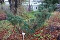 Juniperus chinensis var. sargentii (Juniperus sargentii) - Botanischer Garten, Dresden, Germany - DSC08409.JPG