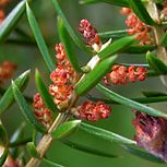 Juniperus communis20090613 004 Male Plant.jpg