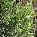 Juniperus virginiana twig, Belgrade.jpg