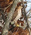 Juvenile Coopers Hawk.jpg