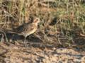 Juvenile Kittlitz's Plover in Madagascar.png