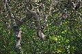 Kadalundi Bird Sanctuary Halcyon smyrnensis 09249.jpg