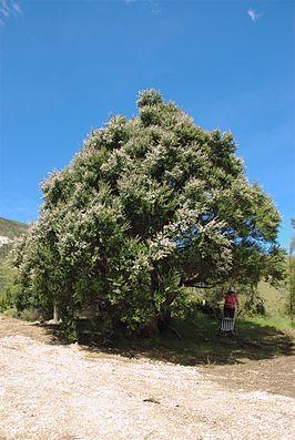 Kunzea ericoides im Puhi Puhi Valley nahe Kaikoura.