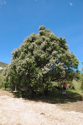 Description de l'image Kanuka Tree in Puhi Puhi valley, near Kaikoura.jpg.