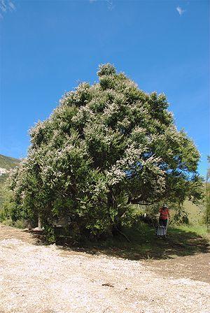 Kunzea ericoides - Kunzea ericoides growing in Puhi Puhi valley, near Kaikoura