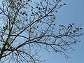 Karmal (Gujarati- કરમલ) (3262327043).jpg