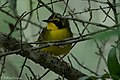 Kentucky Warbler (male) Fall Out Sabine Woods TX 2018-04-08 12-54-38-2 (41484865571).jpg