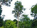 Keruing (Dipterocarpus caudiferus) (Dipterocarpaceae) (8080053980).jpg
