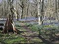 King's Wood in Bluebell season 04.JPG