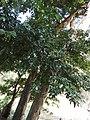 Kingiodendron pinnatum-1-mundanthurai-tirunelveli-India.jpg