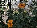 Kirkuk Flower 1.jpg