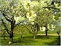 Kirschblüte - panoramio (19).jpg