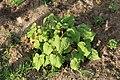 Kluse - Fagopyrum cymosum - Baumspinat 02 ies.jpg