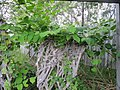 Knots and knotweed (6164527654).jpg