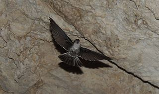 Atiu swiftlet Species of bird