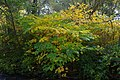 Korina 2013-10-19 Fallopia japonica 1.jpg