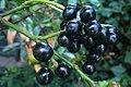 Korina 2014-08-19 Prunus laurocerasus 3.jpg