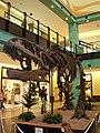 Kostra giganotosaura frontální pohled.jpg