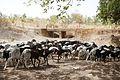 Koumagou-Moutons bicolores (3).jpg