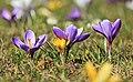 Krokuse im Frühling IMG 9138WI.jpg